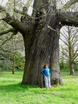 Sweet chestnut on the grounds of the monastery of Bethlehem, Herent, Belgium