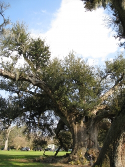 Southern live oak in Audubon Park, New Orleans, United States