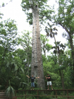 Moerascipres in Big Tree Park, Longwood, Verenigde Staten