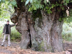 Sweet chestnut close to the G�te d'Etape, Cozzano, France