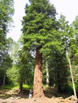 Monumental tree species