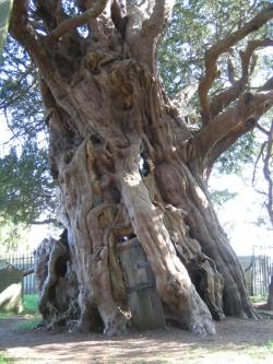 the european yew