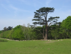 Lebanon cedar in Painshill Park, Cobham, United Kingdom
