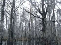 Bald cypress in Honey Island Swamp, Slidell, United States