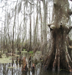 Moerascipres in Honey Island Swamp, Slidell, Verenigde Staten