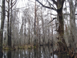 Cypr�s chauve � Honey Island Swamp, Slidell, �tats-Unis