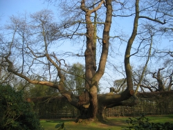 Sweet chestnut in Howletts Wild Animal Park, Canterbury, United Kingdom