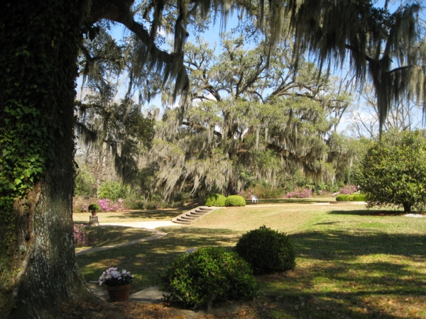 Southern Live Oak In The Afton Villa Gardens In St