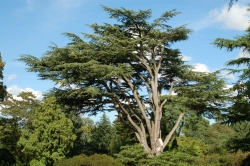 Lebanon cedar in the botanical garden De Dreijen, Wageningen, Netherlands