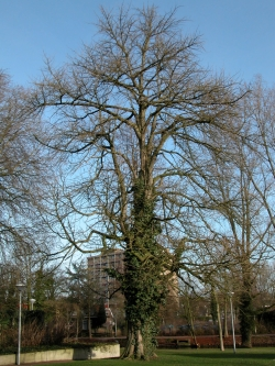 Ginkgo in the Torckpark, Wageningen, Netherlands
