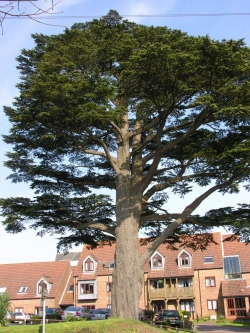 Lebanon cedar in Lyndhurst village, Lyndhurst, United Kingdom
