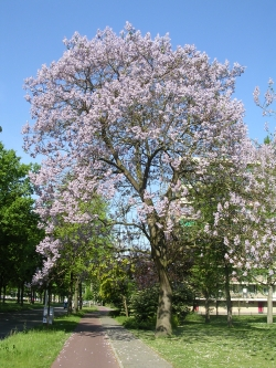 Empress tree along the street Winston Churchillaan, Eindhoven, Netherlands