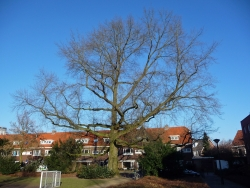 Pin oak close to Prinsenhof 19, Eindhoven, Netherlands
