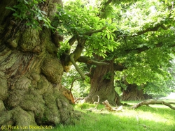 Sweet chestnut on the private property of Croft Castle, Yarpole, United Kingdom