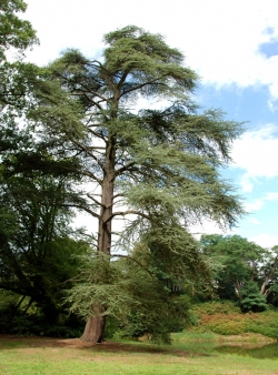 Lebanon cedar in the garden of castle Twickel, Delden, Netherlands