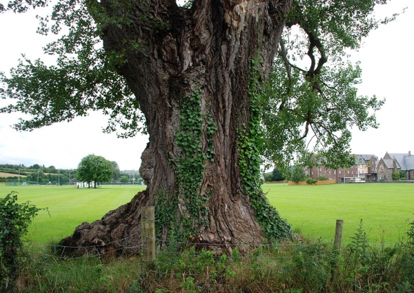 Black Poplar On The Grounds Of Christ S College Brecon