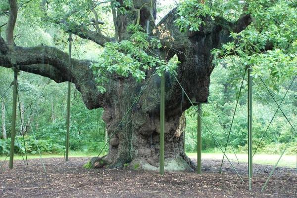 Pedunculate Oak In Sherwood Forest In Edwinstowe England