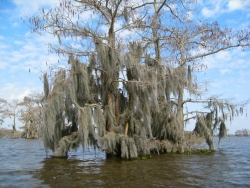 Bald cypress in Henderson Swamp, Henderson, United States