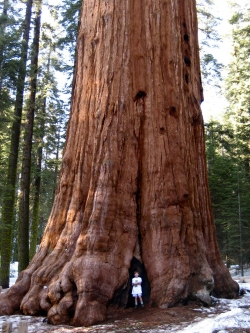 Secuoya gigante en Giant Forest, Sequoia National Park, Estados Unidos
