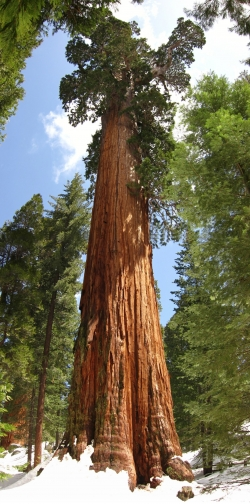 S�quoia g�ant au Grant's Grove, Parc national de Kings Canyon, �tats-Unis