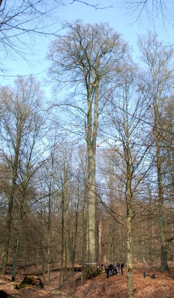 European beech in the Sonian Forest, Hoeilaart, Belgium