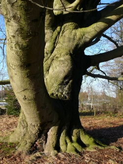 European beech along the A2, Halse Barrier, Boxtel, Netherlands