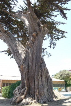 Monterey cypress on the property of the Club Deportivo Nacional, Algarrobo, Chile