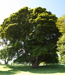 Sycamore maple at the golf club 'The Druids Glen Course', Kilcoole, Ireland