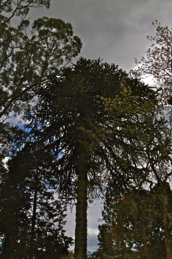 Monkey-puzzle at Kilmacurragh Arboretum, Rathdrum, Ireland