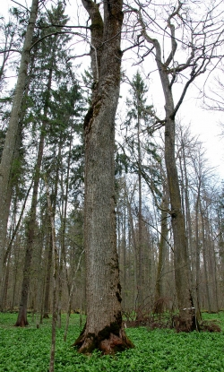 Norway maple in the National Park of Białowieża, Białowieża, Poland