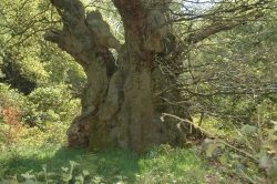 Pedunculate oak in the woods of Burnham Beeches, Farnham Common, United Kingdom