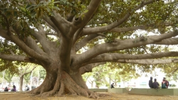 Moreton Bay fig in the park of the Victoria, Valpara�so, Chile