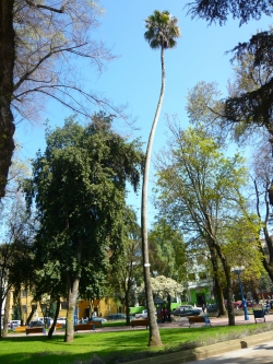 Washingtonia de California en Plaza de Armas de Chillan, Chillan Viejo, Chile