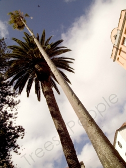 Mexican fan palm next to the  Cathedral, La Laguna, Spain