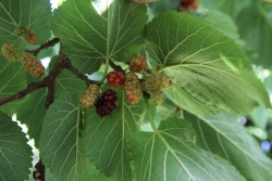 Black mulberry along Trambaan, Ossendrecht, Netherlands