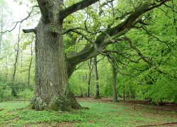 Pedunculate oak in a swamp forest near Gross Gievitz, Gro� Gievitz, Germany