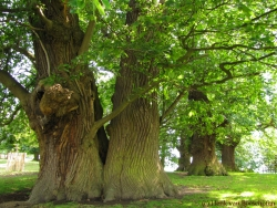 Sweet chestnut in Petworth Park, Petworth, United Kingdom