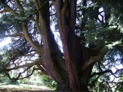 Lebanon cedar in the park of Villa Mirabello, Varese, Italy