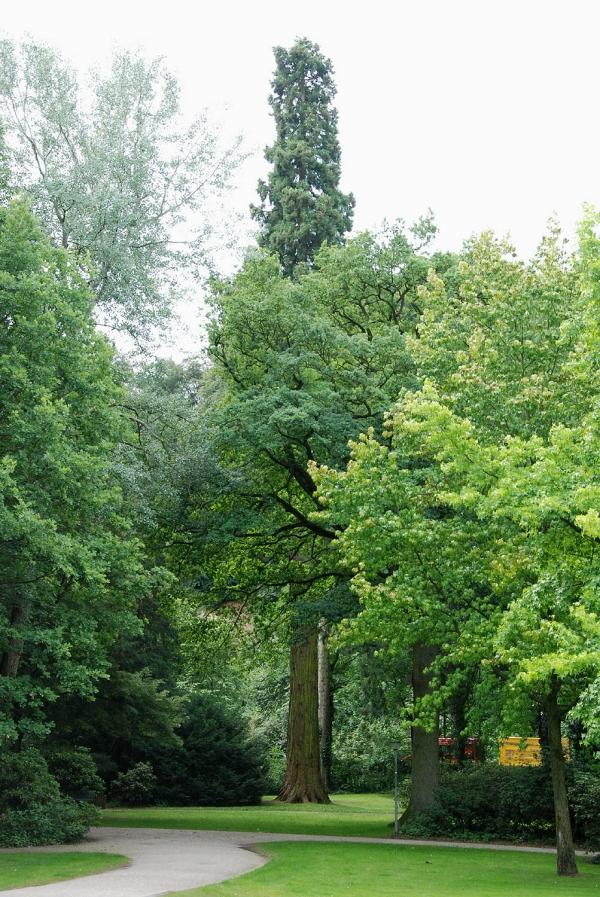 riesenmammutbaum in der neuer tiergarten kleve kleve nordrhein westfalen deutschland. Black Bedroom Furniture Sets. Home Design Ideas