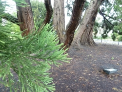 Giant sequoia in the National Botanic Garden, Dublin, Ireland