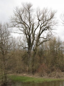 Black poplar along the river Wisła, Kromn�w, Poland