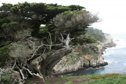 Monterey cypress in the park of the Point Lobos State Reserve, Point Lobos State Reserve, United States