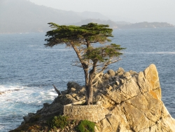 Monterey cypress on the grounds of 17-miles drive, Carmel, United States