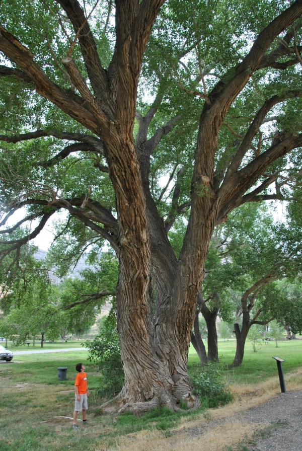 Fremont Cottonwood At James Robb Colorado River State Park