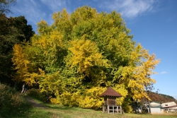 Ginkgo near the border of the Kita kanegasawa, Nishitsugaru-gun, Fukaura-mach, Japan