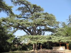 Lebanon cedar near the border of the parc municipal, Villelaure, France
