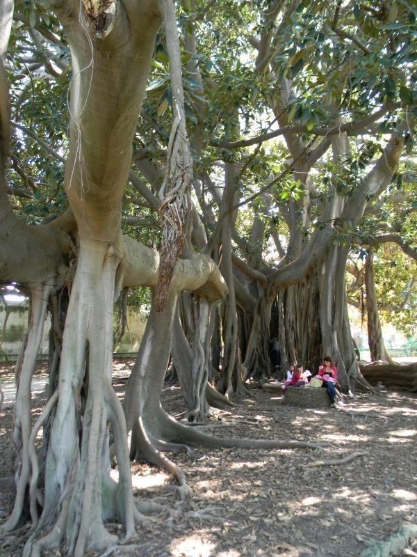 Monumentale bomen in de orto botanico di palermo in for Amapola jardin de infantes palermo