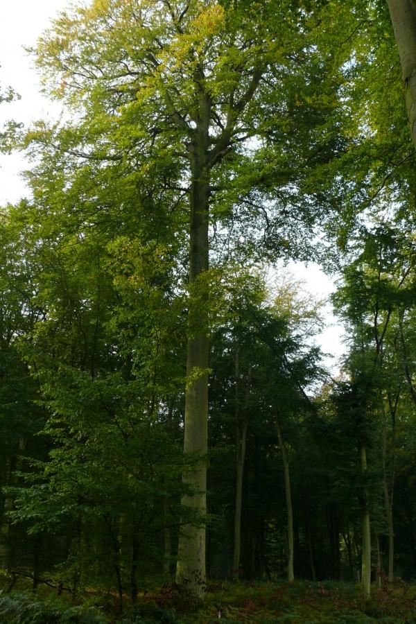 Hetre Bois Traduction : H?tre Tabouel of H?tre Taboil' dans le bois de Louviers ? Louviers