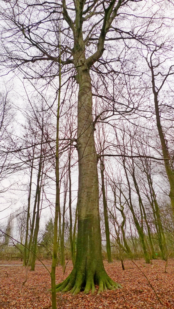 Bois du Laerbeek, picture by maxifred, 2012-01-12
