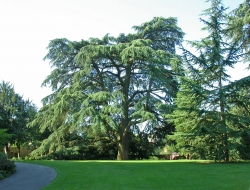 Lebanon cedar in the castle garden of  Weinheimer Schloss, Weinheim, Germany